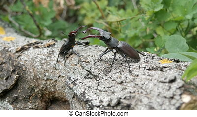 Two big deer beetles Lucanus cervus creep along tree. Rare...