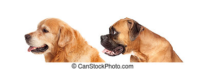 Two big dogs looking to the side