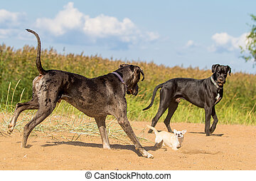 Two big dogs play with little dog