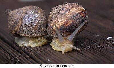 Two big garden snails crawling. Close up - Two big garden...