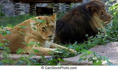 Two Big Lions Lie on a Stone Slab