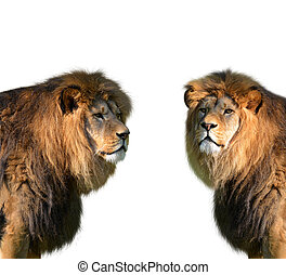 Two big male lion
