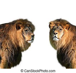 Two big male lion