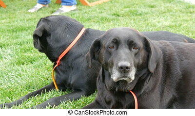 Two big old black labradors dog lie on the green grass.