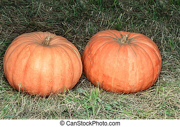 Two big pumpkins on the green grass.