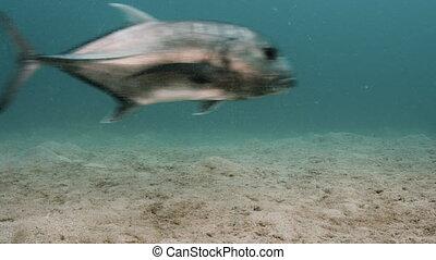 Two big tuna swimming in the vast sea - A still shot...