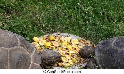 two big turtles eat apples on plate in grass - two big old...