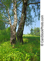 Two birch trees in the meadow on a sunny summer day