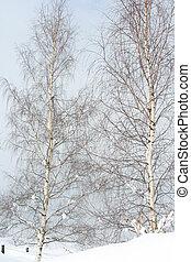 Two birch trees in winter