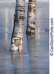 two birches in the park