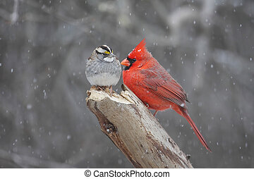Northern Cardinal (cardinalis cardinalis) and White-throated Sparrow (zonotrichia albicollis) in a snow storm
