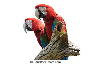 two bird Red  Macaw on a branch isolated white background