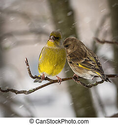 Two birds of a greenfinch female and male sit on mountain...