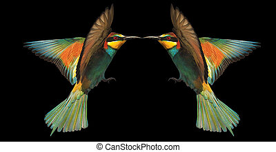 two birds of paradise in flight beak to beak touching on black