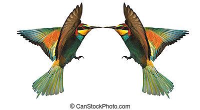two birds of paradise in flight beak to beak touching on white