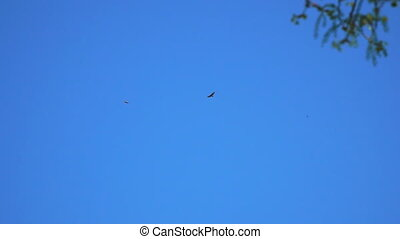 Two birds of prey in blue sky - Two birds of prey in the...