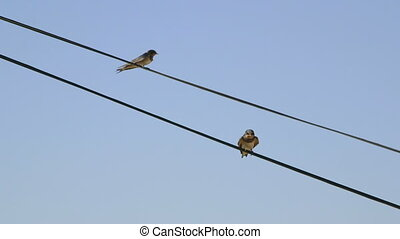 Two birds swallows sitting on wire against clear blue sky