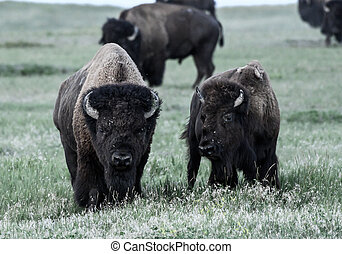 Two Bison Graze in Dry Field