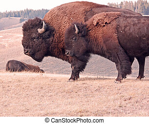 Two large male Bison standing on a grassy hill in late fall.
