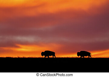 two bison silhouette at sunrise - two American Bison...
