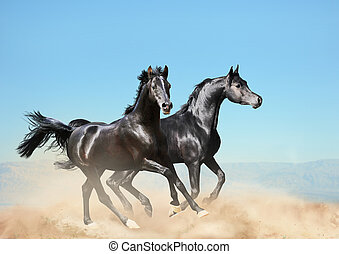 two black arab horses running in desert