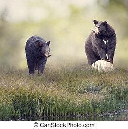 Two Black bears near water