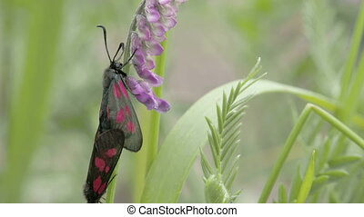 Two black butterflies are mating on the stem of the plant