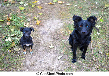 Two black dogs looking to camera