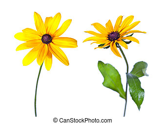 Two Black-Eyed Susan (Rudbeckia Hirta) flowers isolated on...