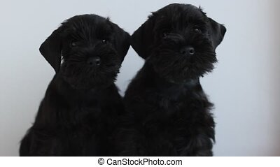 Two black miniature schnauzer - Two adorable puppy black ...