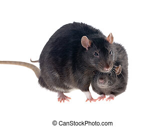 Two black rats