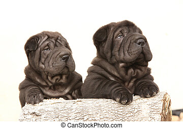 Two black sharpei puppies on white background