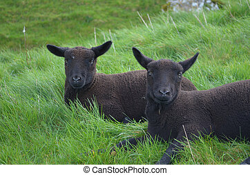 Two Black Sheep Resting In A Grassy Field