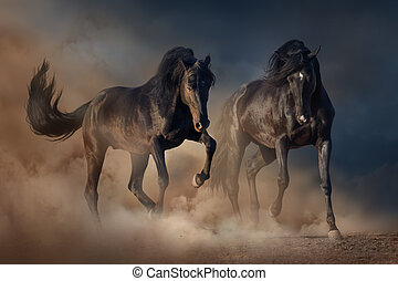 Two black stallion horse