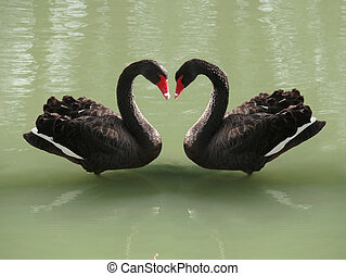 Two black swans romantically together creating a heart shape while swimming on lake