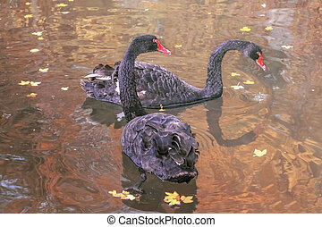two black swans on a pond, close-up