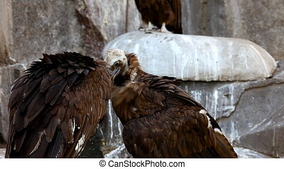Two Black Vulture sit on rock