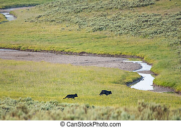 Two Black Wolves Head Toward Creek Crossing