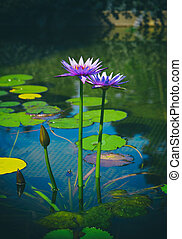 Two blooming purple lotus flowers and green leaves on a pond