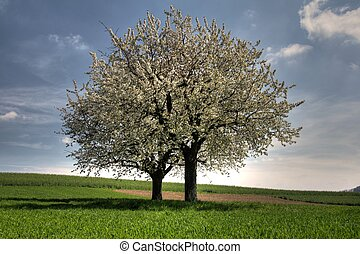 two bloosoming trees - two blossoming cherry trees