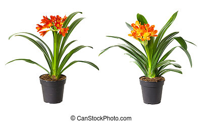 Two blossoming plants of klivia in flowerpot isolated on white