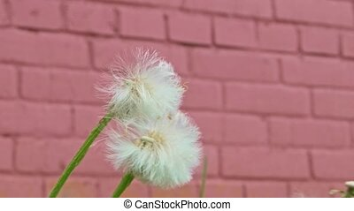 Two blow balls in front of red wall striked by wind