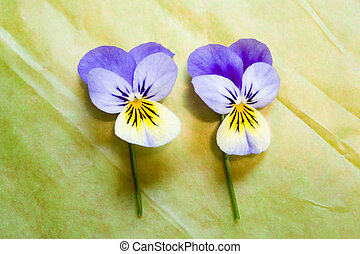 Two Blue and Yellow Pansies Isolated on Green Background