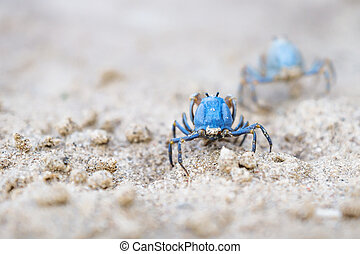 Two Blue crabs from the back on the white beach of Siquijor, Philippines, Asia