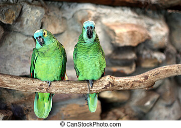 Two Blue-Fronted Amazon (Amazona aestiva) at world of birds, in Cape Town