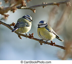 Two Blue Tits perched on a branch.