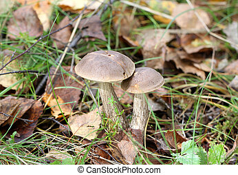 Two boletus mushroom in the forest