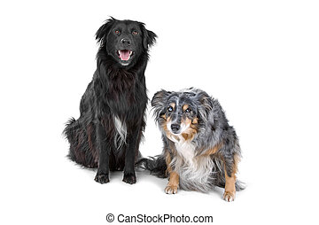 Two border collie dog