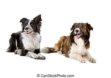 two border collie dogs lying down, isolated on a white...