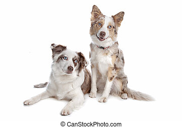 two border collie dogs - two border collie shepherd dogs in...